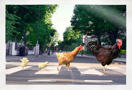 Chicken family crossing Abbey Road